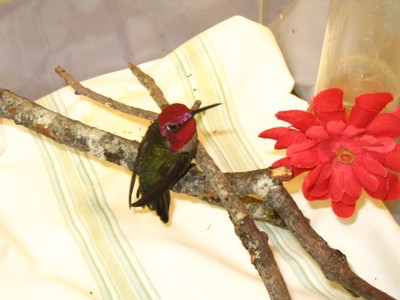 Annas_hummingbird2